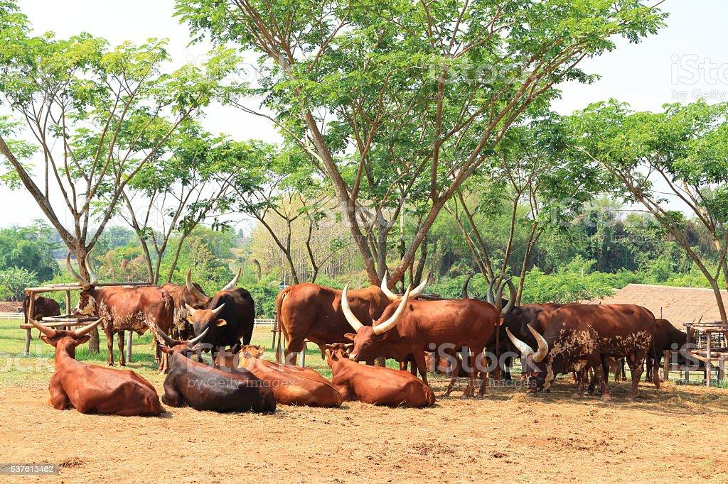 Group of brown Watusi Cows stock photo