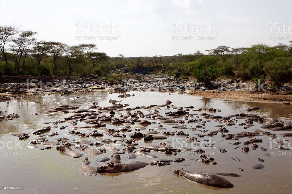 Group of Buffalo in river stock photo