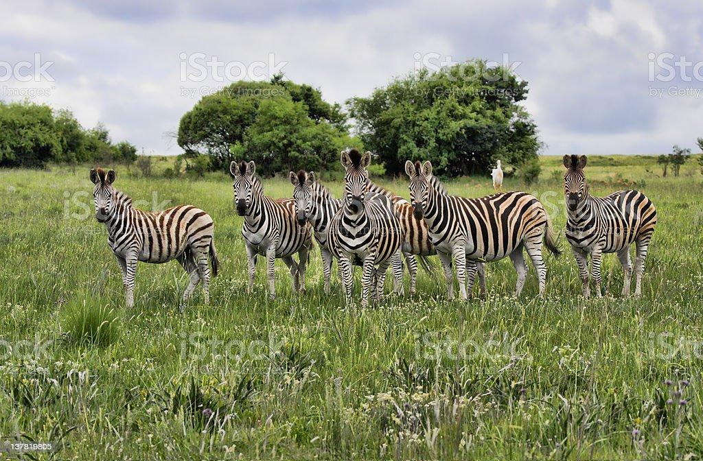 Grupa Burchells Zebra zbiór zdjęć royalty-free