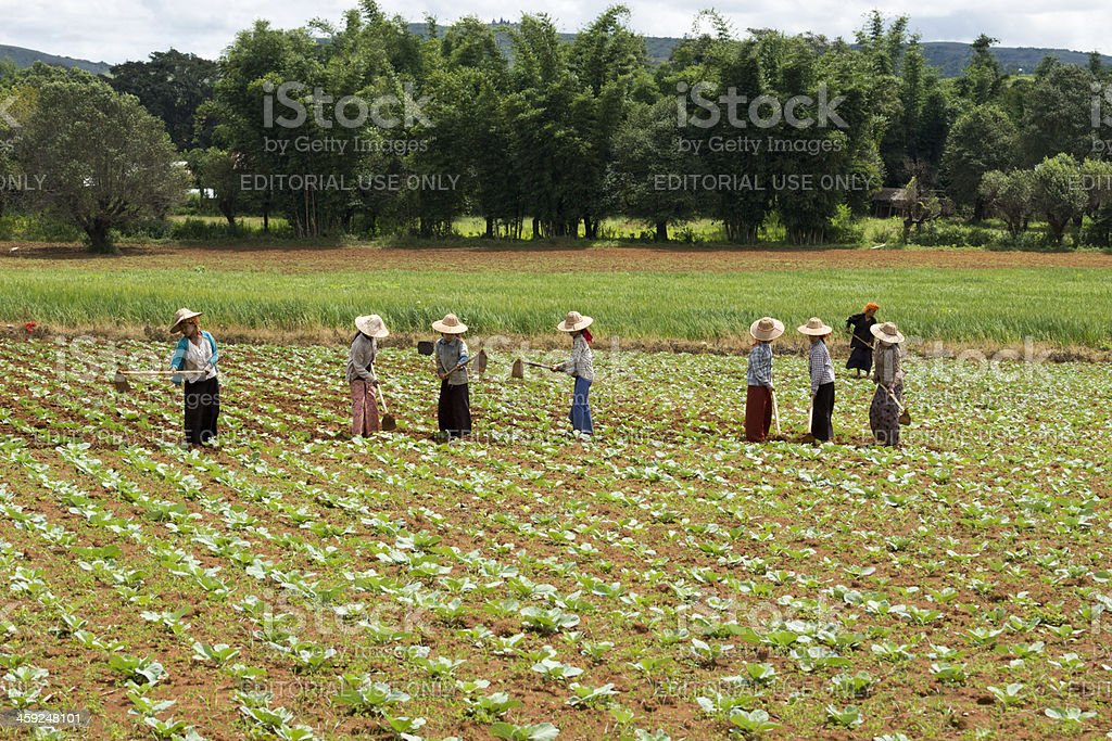 Group of Burmese women weeding in a field stock photo