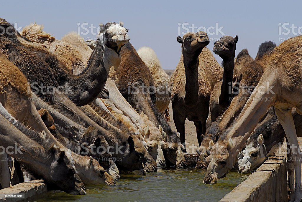 Group of camels drinking from the same trough of water royalty-free stock photo