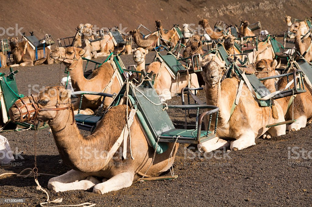 Group of camels equipped for passenger transport royalty-free stock photo