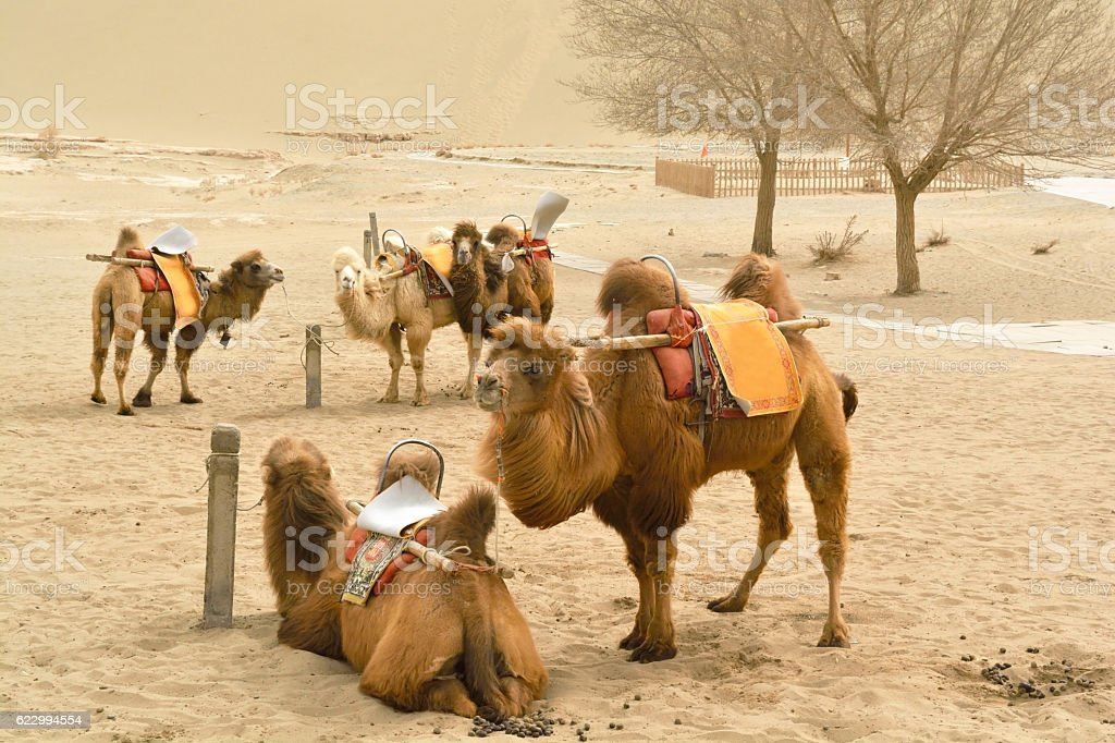 Group of camels in the desert stock photo
