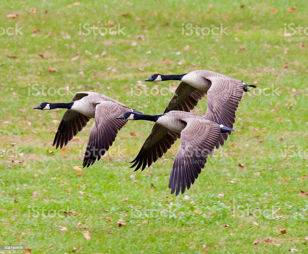 Group of Canada Geese Flying stock photo