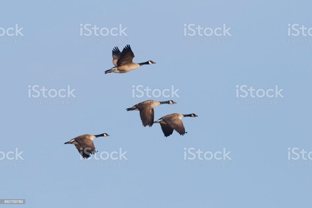 Group of Canada Geese Migrating in Spring - Ontario, Canada stock photo
