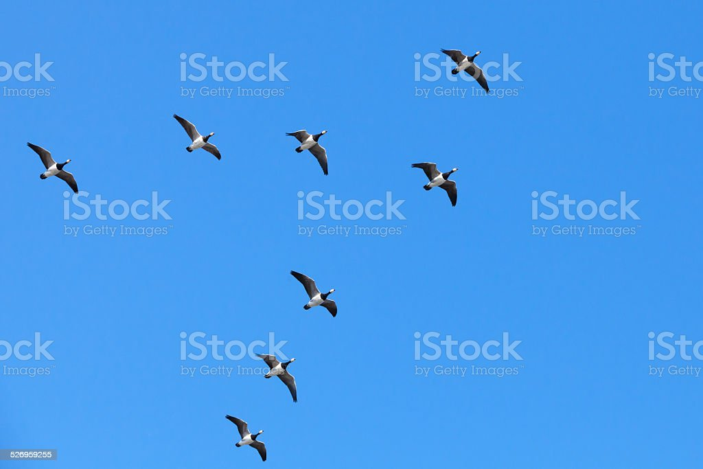 Group of Canadian geese flying in V shaped flock stock photo
