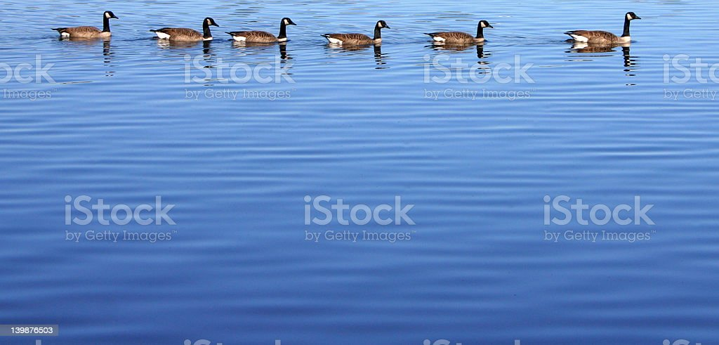 Group of Canadian Geese royalty-free stock photo
