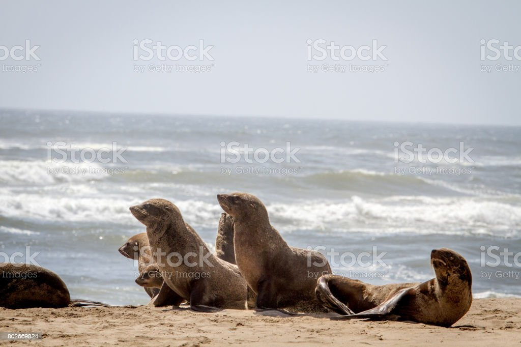 Group of Cape fur seals on the coast. stock photo