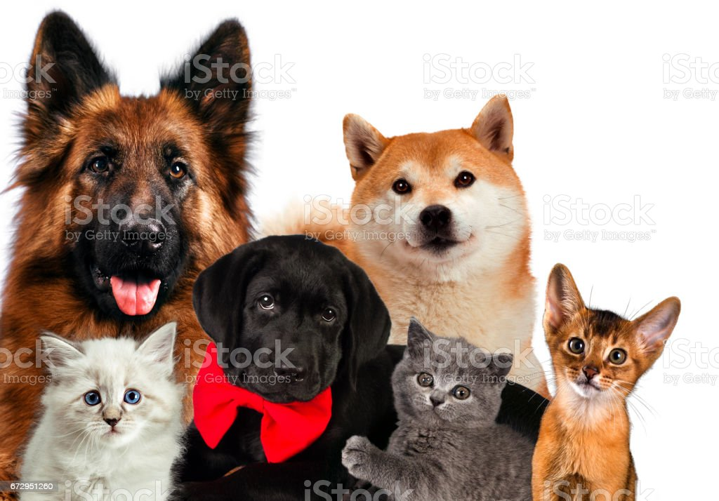 Group of cats and dogs in front. looking at camera. isolated on white background stock photo