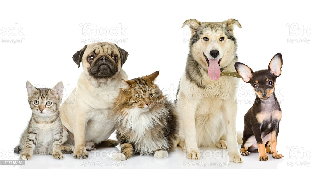 Group of cats and dogs in front. looking at camera. stock photo