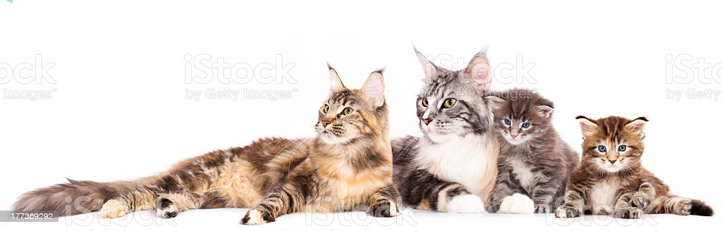 Group of cats and kitten stock photo
