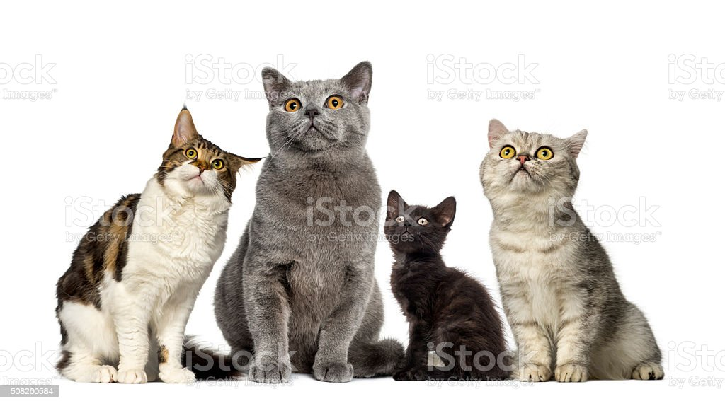 Group of cats in front of a white background stock photo