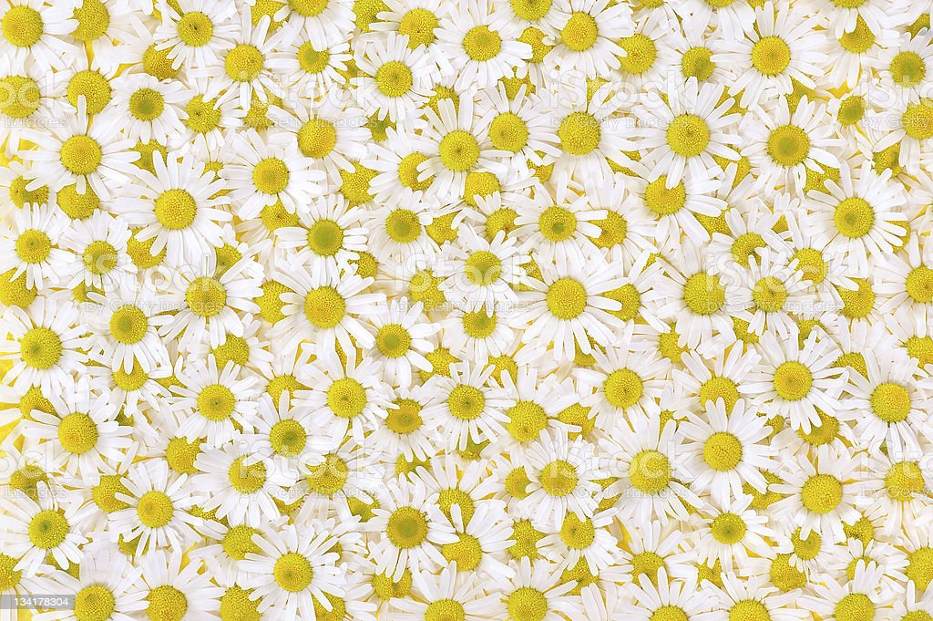 Group of Chamomile flower heads – background royalty-free stock photo