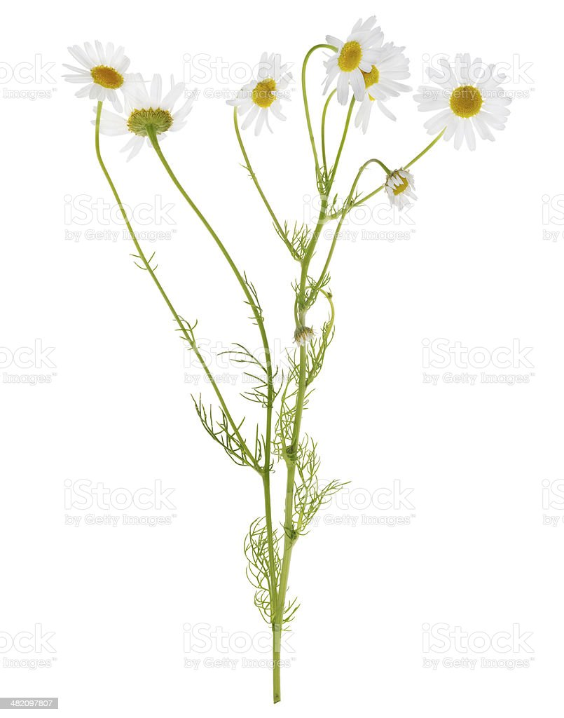 group of  chamomile flowers on stem stock photo