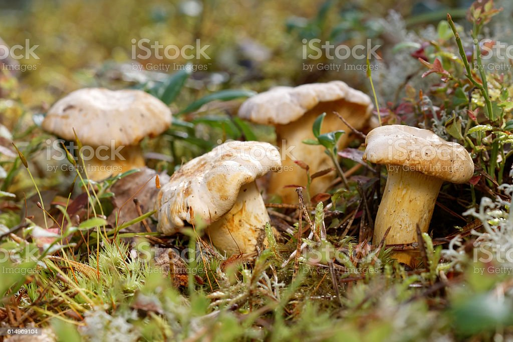 Group of chantarelles in moss stock photo