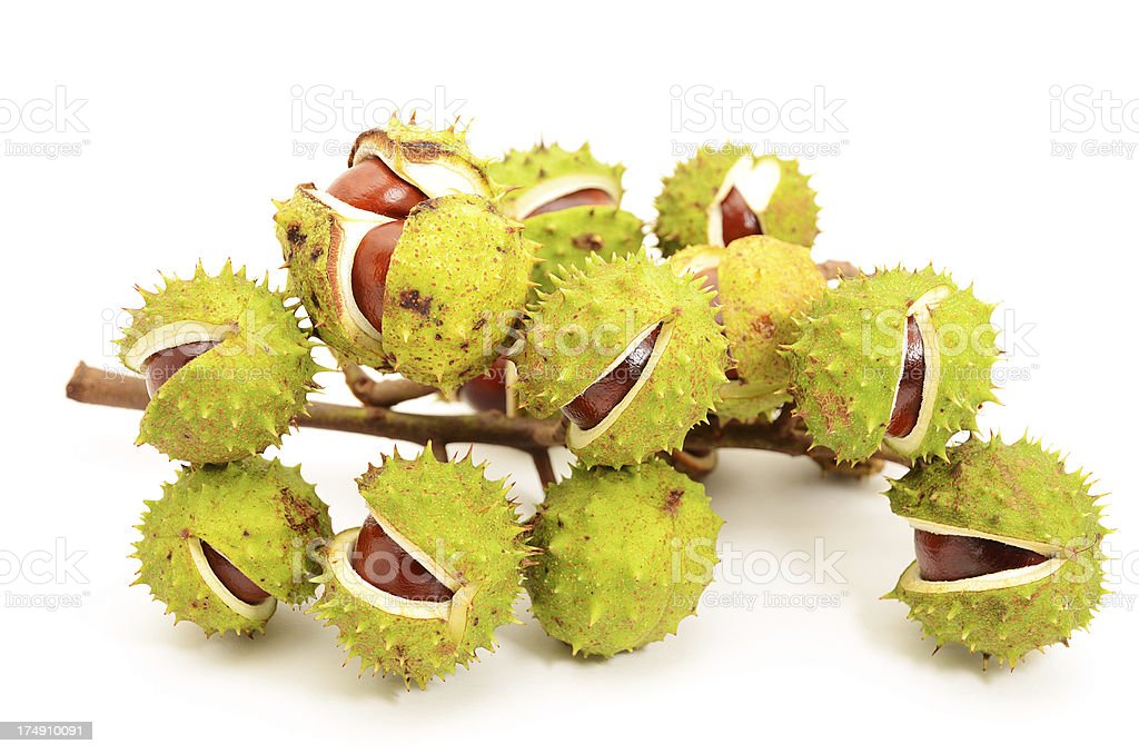 Group of chestnuts with cracked burr on white background stock photo