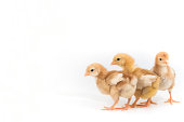 Group of Chick, Rhode Island Red Chicken