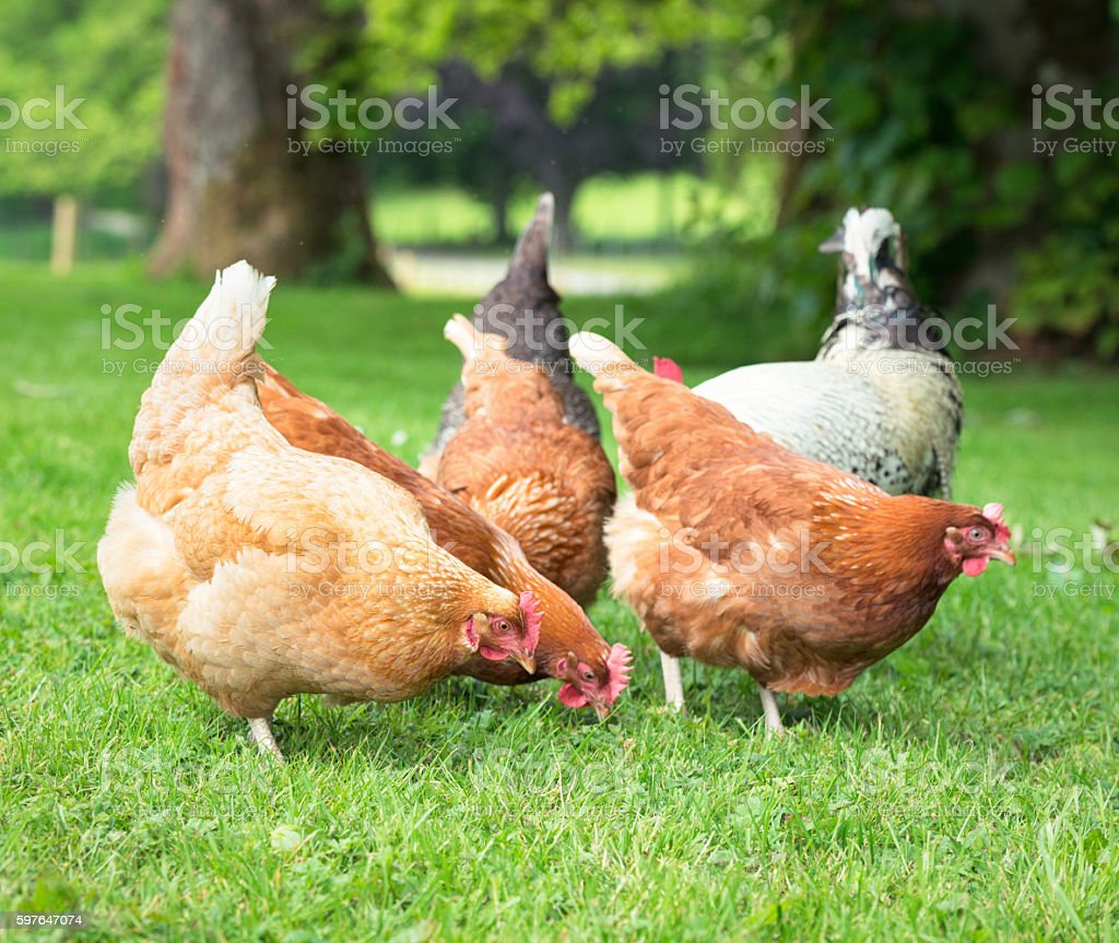 Group of chickens foraging outdoors stock photo