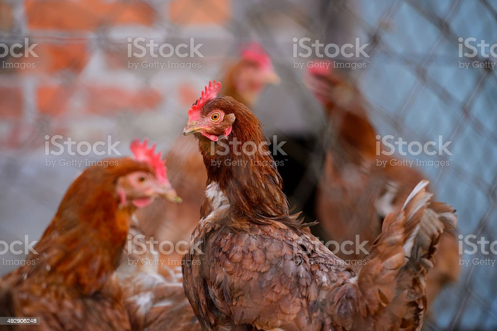 Group Of Chickens stock photo