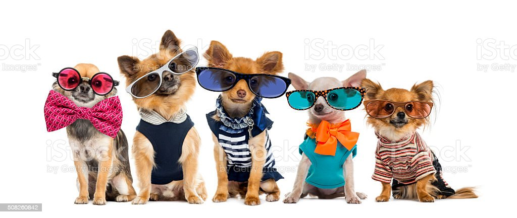 Group of Chihuahuas dressed, wearing glasses and bow ties stock photo