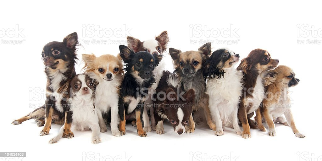 group of chihuahuas royalty-free stock photo