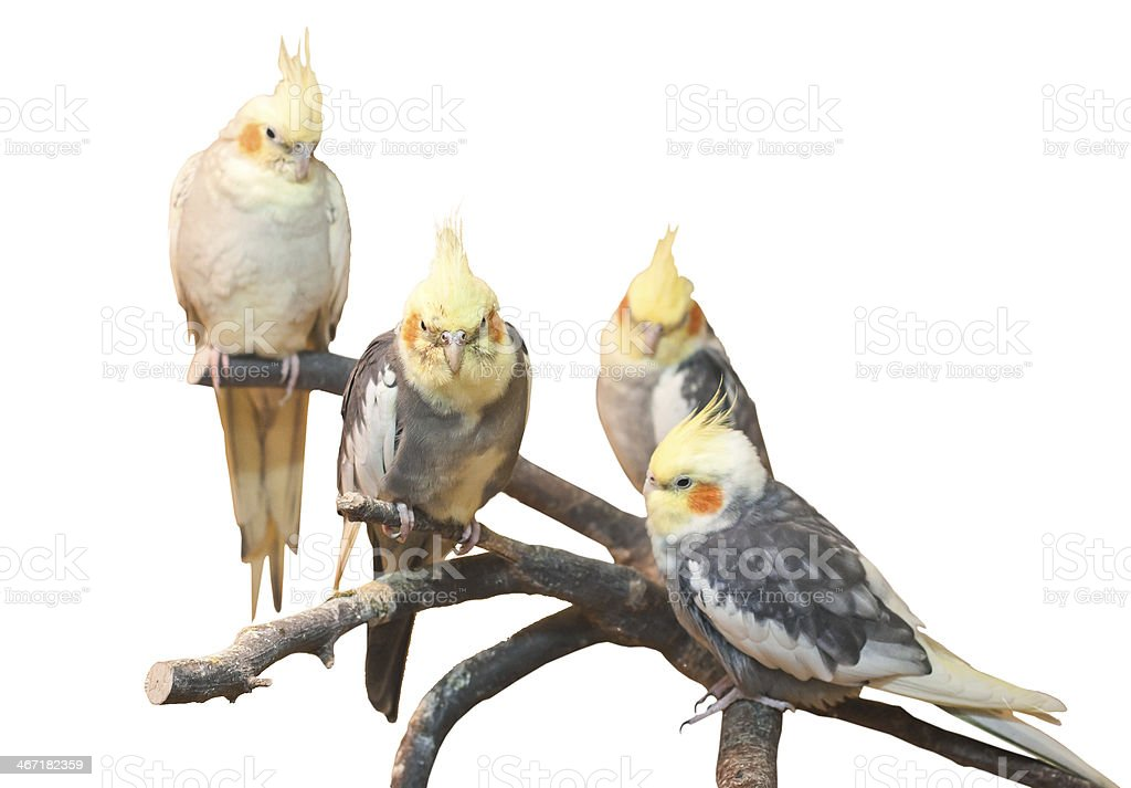 group of cockatiels, isolated on white stock photo
