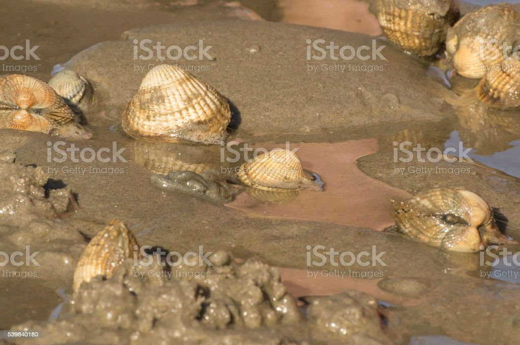 Group of cockles stock photo