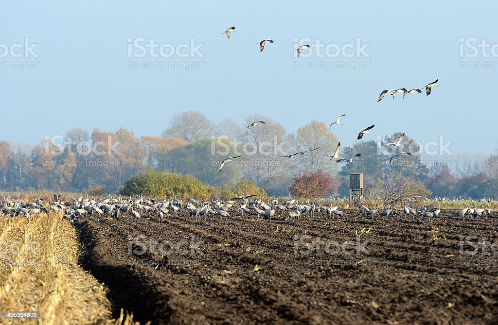 group of common cranes on a field in autumn time stock photo