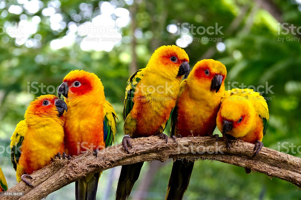 group of  conures parrots are sitting on a tree branch stock photo