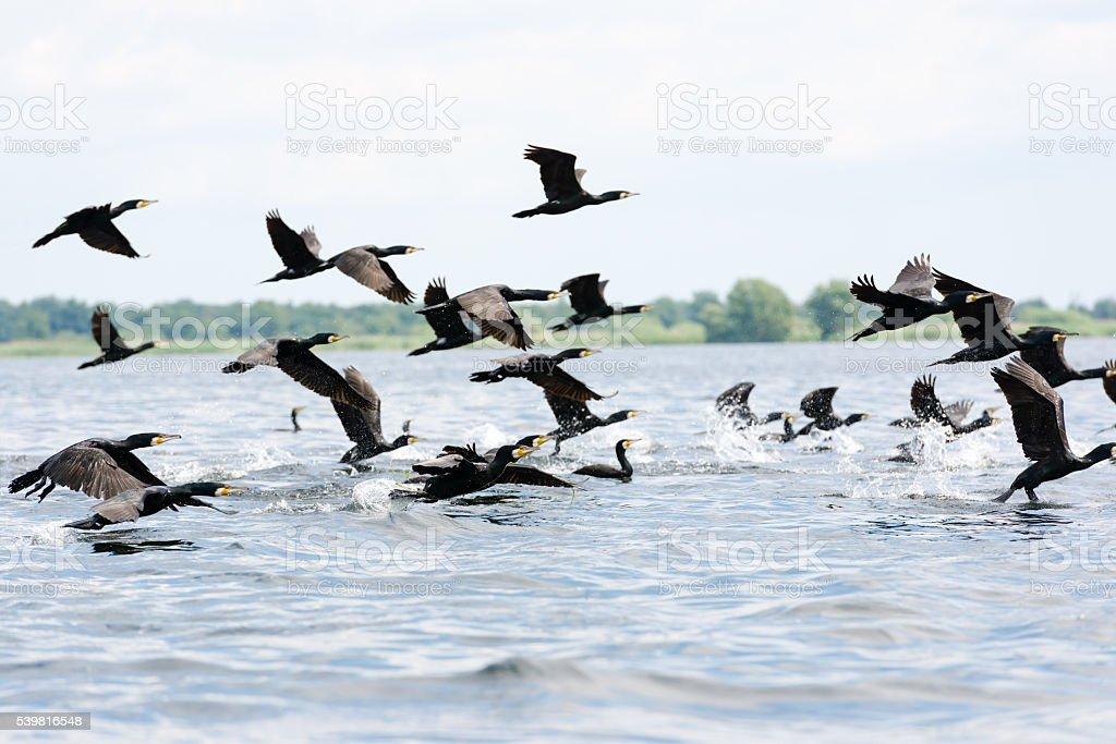 Group of cormorants stock photo