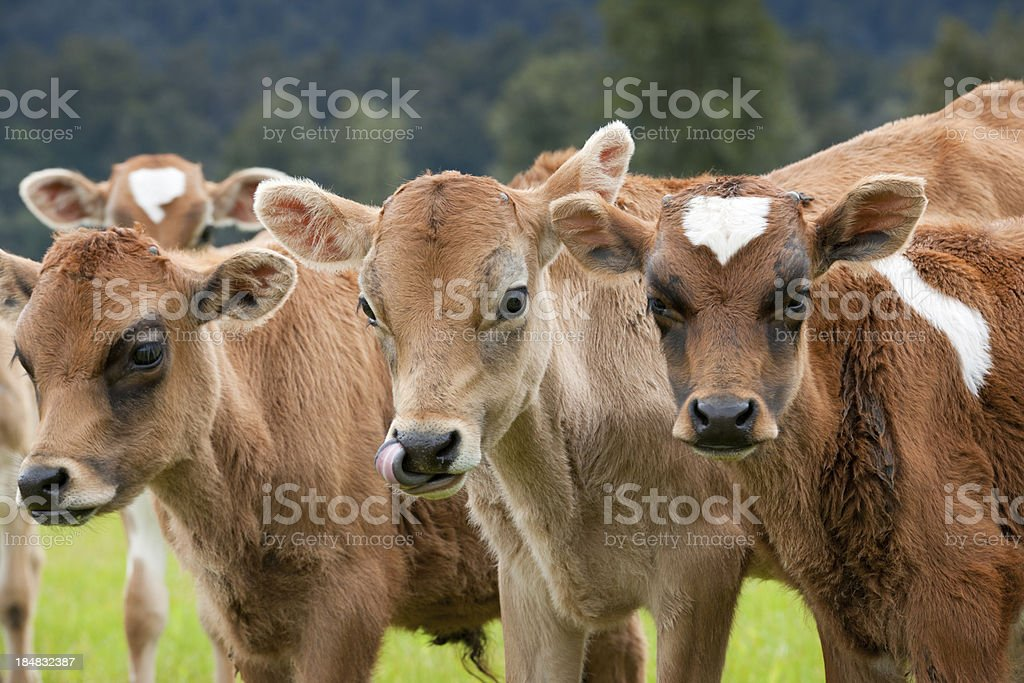 Group of Cow Calves (XXXL) royalty-free stock photo
