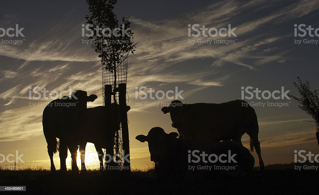 Group of cows at sunrise royalty-free stock photo