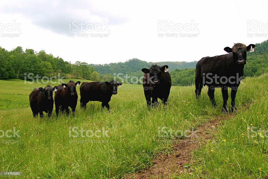 Group of cows in a field looking at camera royalty-free stock photo
