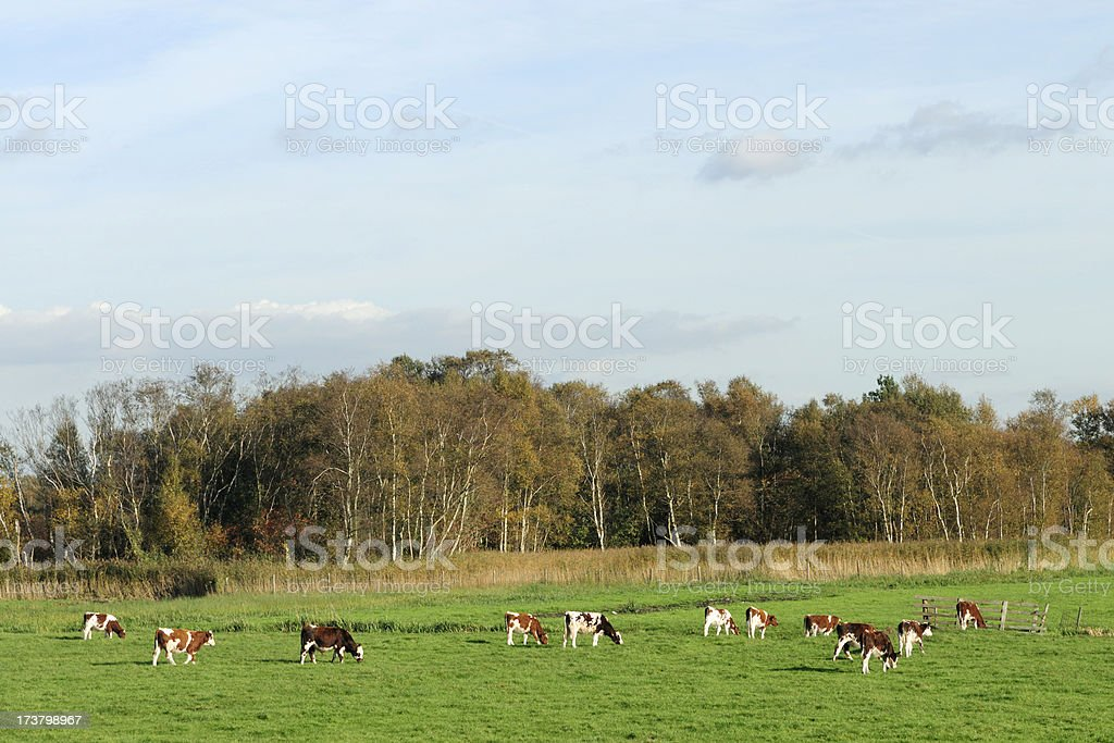 Group of cows in a meadow during autumn royalty-free stock photo