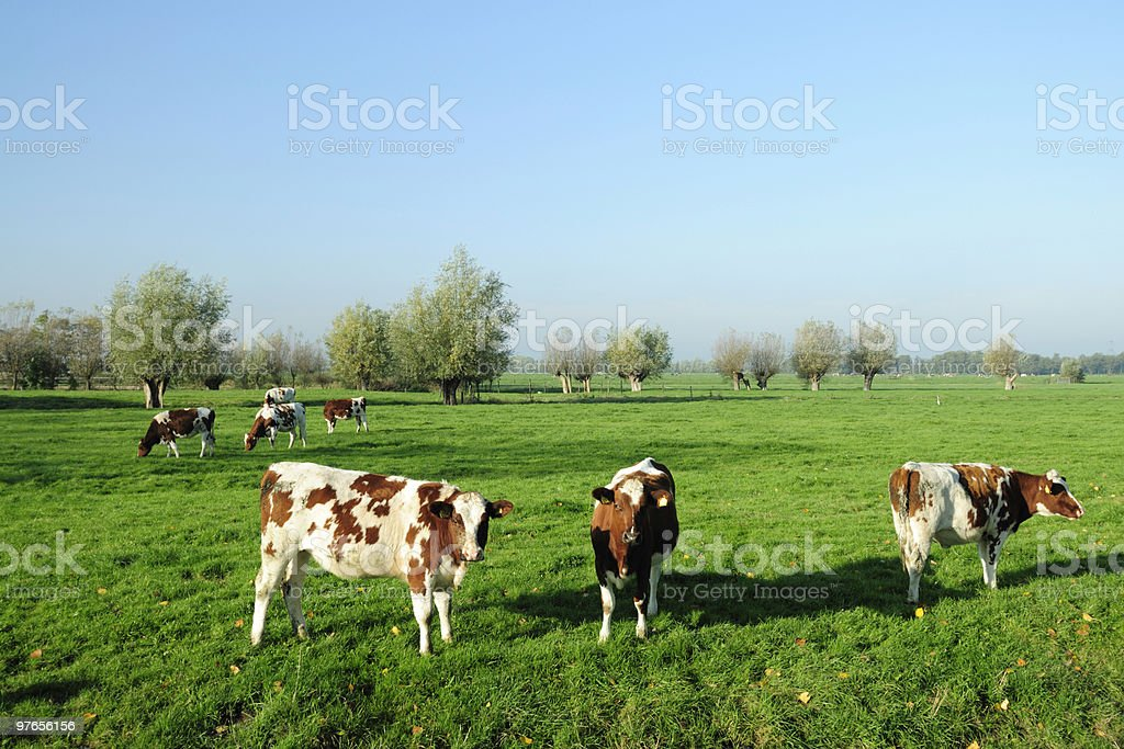 Group of cows in a meadow royalty-free stock photo
