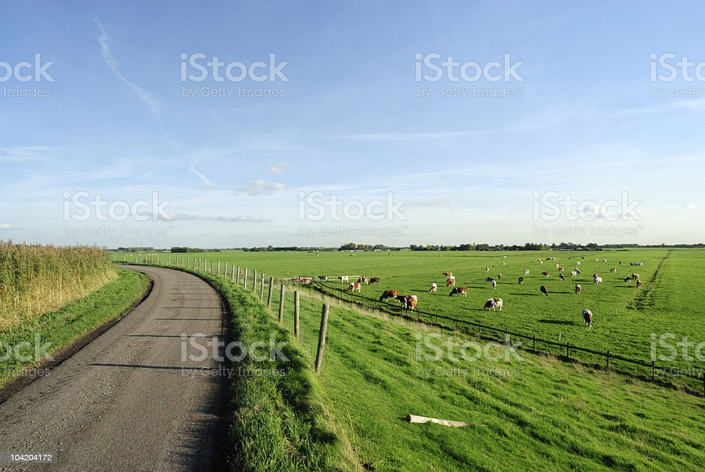 Group of cows in a polder landscape stock photo
