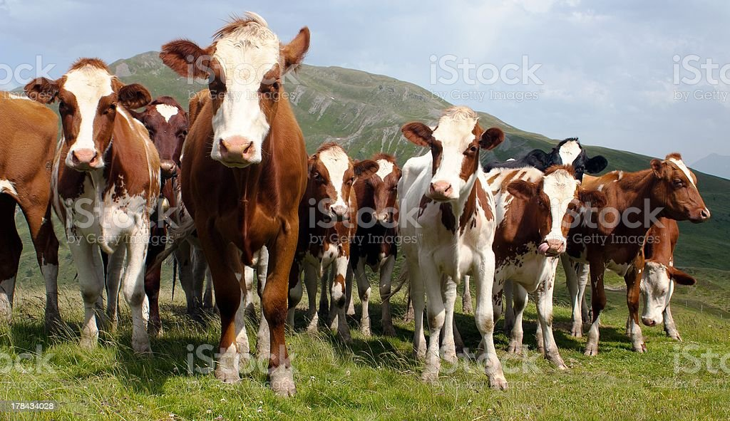 group of cows in alps on pasture royalty-free stock photo