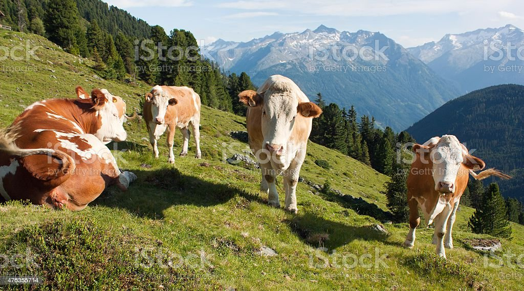 group of cows in alps on pasture stock photo