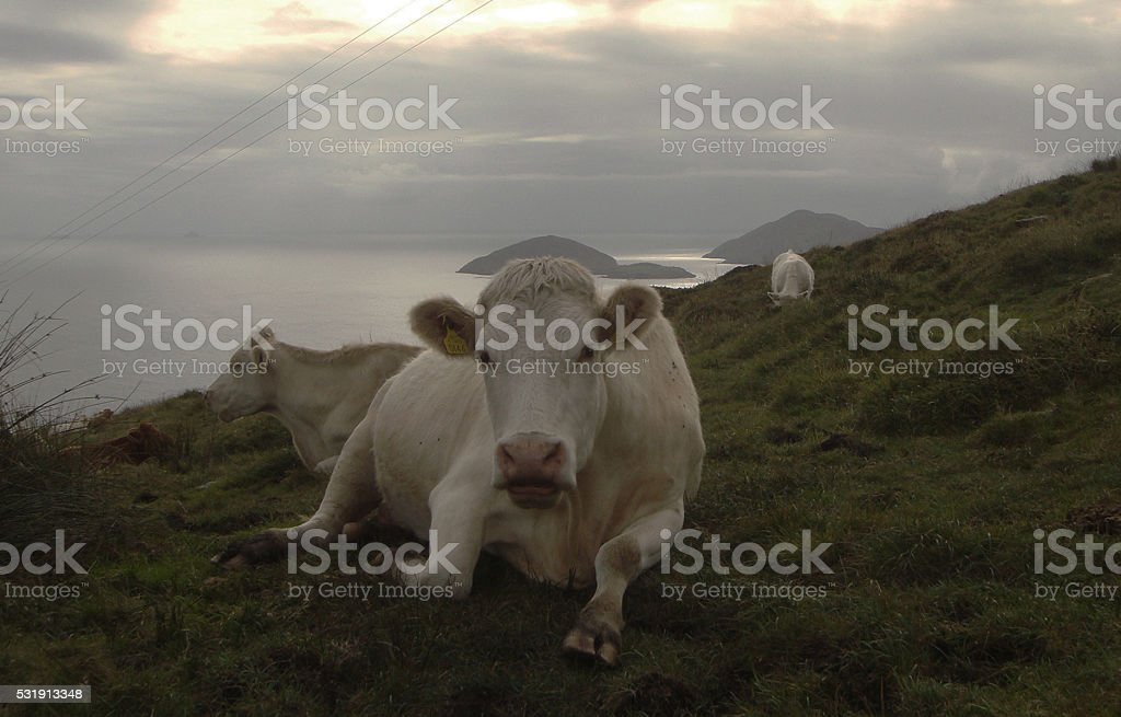 Group of cows on a seaside hill stock photo