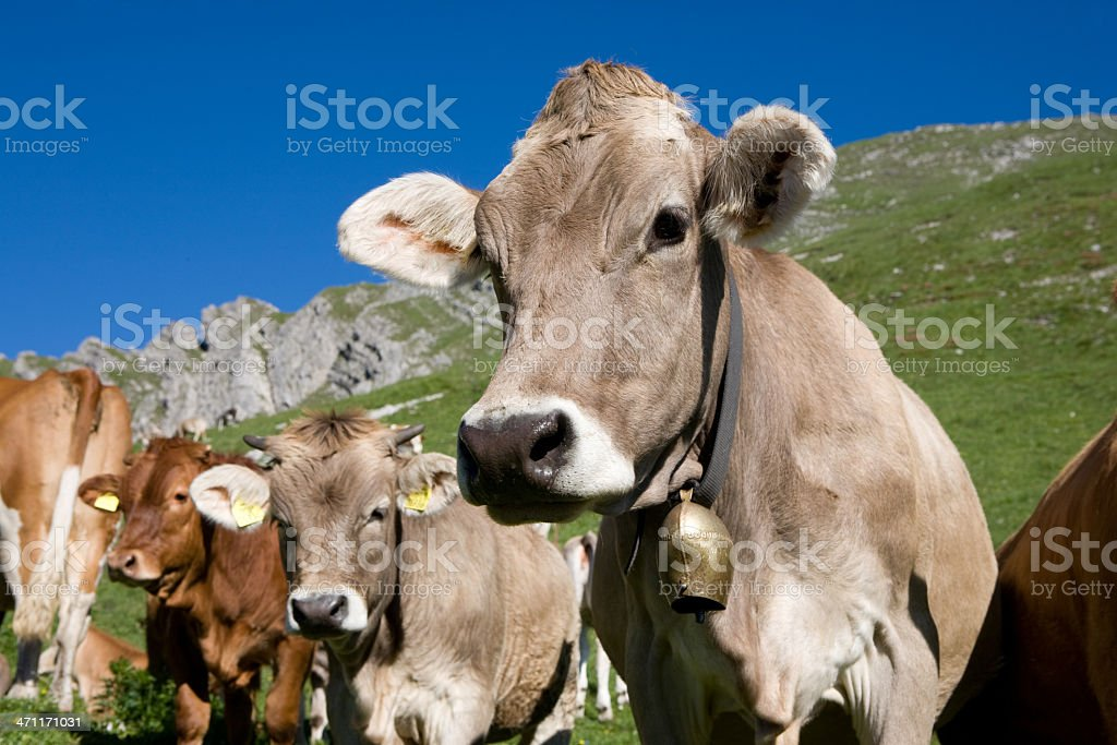 group of cows royalty-free stock photo