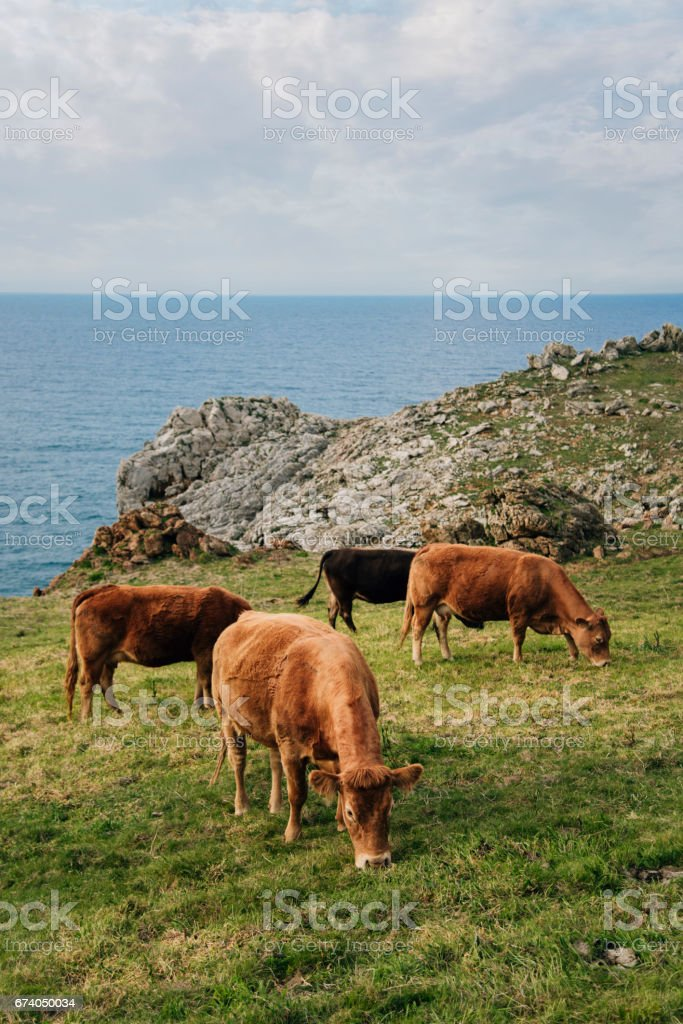 Group of cows stock photo