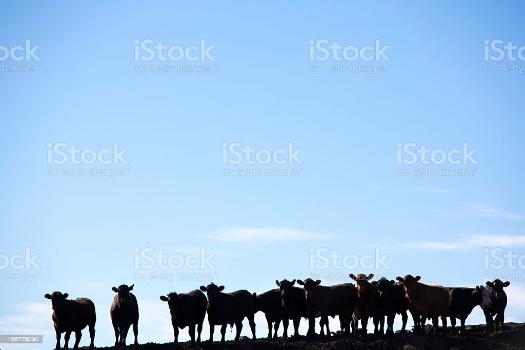 Group of cows silhouettes in livestock farm land, Uruguay stock photo