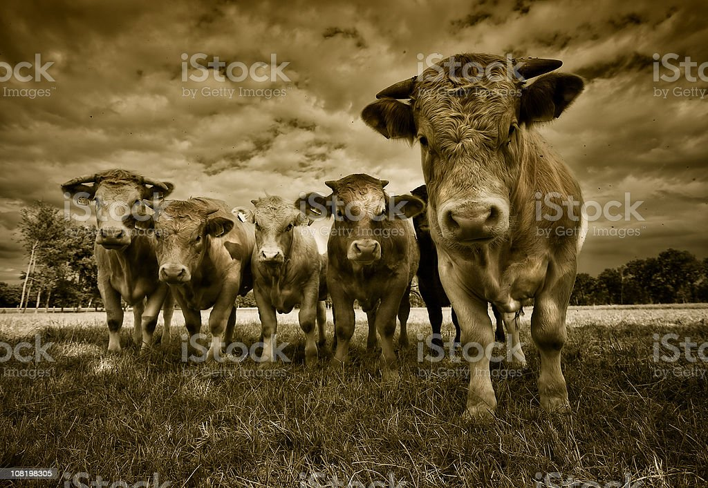 Group of Cows Standing in Field, Sepia Toned royalty-free stock photo