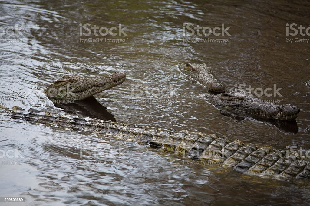 Group of crocodiles in the water stock photo