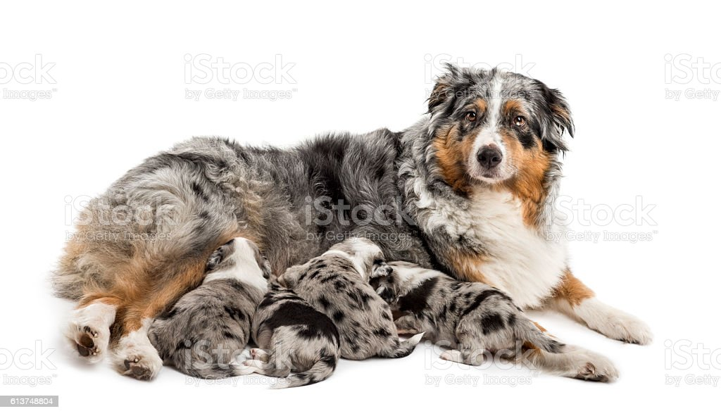 Group of crossbreed puppies suckling form mother stock photo