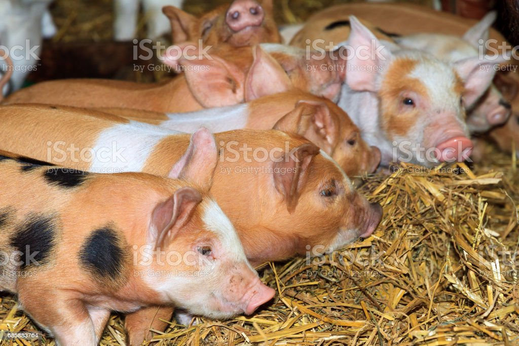 Group of curious piglets stock photo