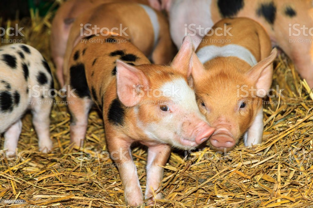 Group of cute piglets stock photo