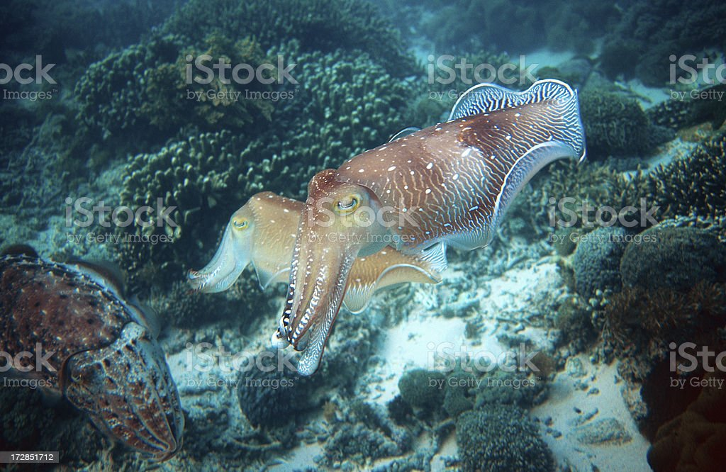 Group of Cuttlefish stock photo
