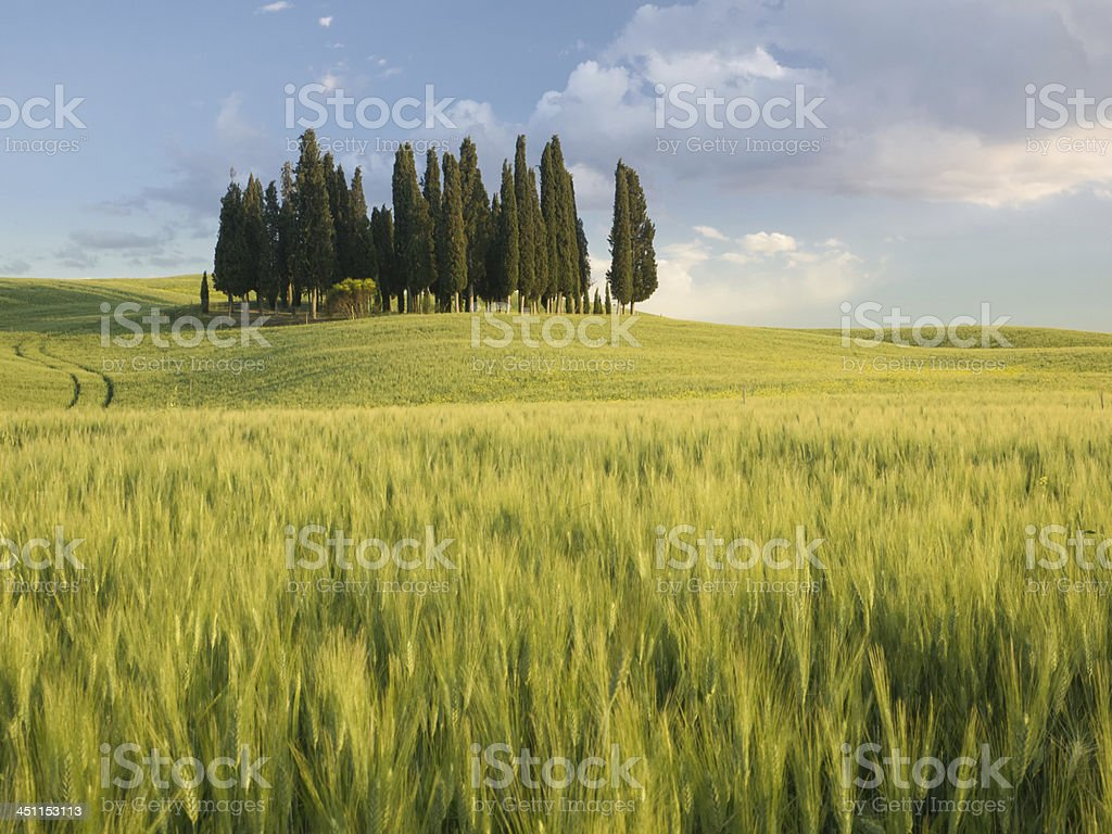 Group of cypress trees at dusk In Tuscan landscape royalty-free stock photo