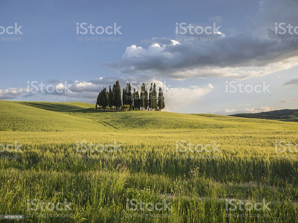 Group of cypress trees at dusk royalty-free stock photo